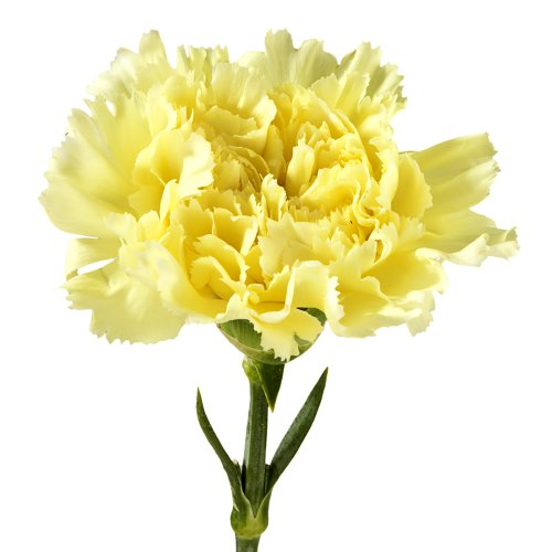 Wholesale Carnations (150 Yellow) by BFFlowers.com