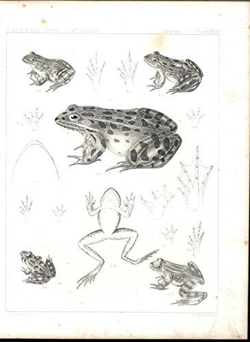 Aquatic Amphibians (Spotted Frog Amphibian Webbed Toes Aquatic Reptile 1860 antique lithograph print)