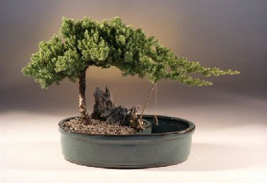Bonsai Boy's Juniper in a Water Bonsai Pot - Large juniper procumbens nana by Bonsai Boy