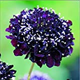 GEOPONICS Flower - ngs Seeds - Picture Packet - Scabiosa - Black Knight - 100 Seed