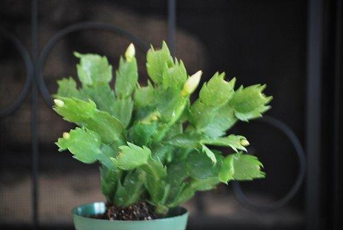 "Orange Christmas Cactus Plant - Zygocactus - 4"" Pot Unique From Jmbamboo"