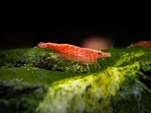 Aquatic Arts Sakura Red Cherry Shrimp Breeder Combo Pack (Neocaridina davidi) -...