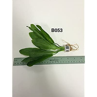 Exotic Live Aquatic Plant for Fresh Water Echinodorus martii (major) Bundle B053 By JaycoBUY 2 GET 1 FREE : Garden & Outdoor
