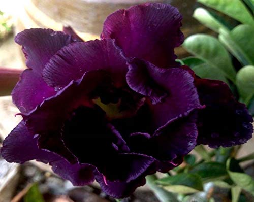 No89 Black Sheep, Desert Rose Adenium Obesum, mature plant, new hybrid, new arrival, very-rare, limited quantities!! ()