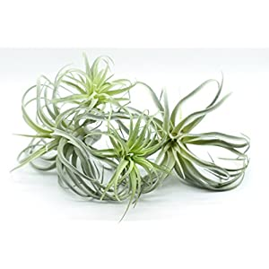 Yokoke Artificial Pineapple Grass Air Plants Fake Flowers Faux Succulents Flocking Tillandsia Bromeliads Home Garden Decor 4 Pcs 11 Inches Assortment 2