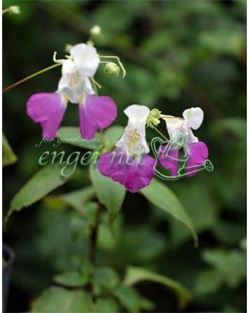 ツリフネソウ(釣船草):源平ツリフネソウ3号 2株セット[白とピンクのポップな花を次々咲かせるインパチェンス・バルフォリー]