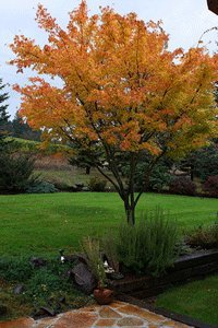 Coral Bark Japanese Maple by Brighter Blooms