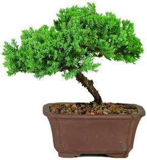 Brussel's DT2101GMJ Bonsai Tree