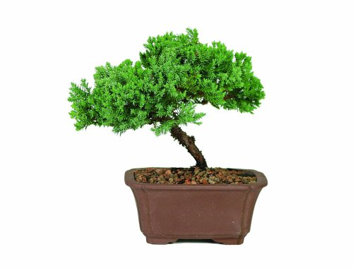 Green Mound Juniper Bonsai 411F8ZKMrCL