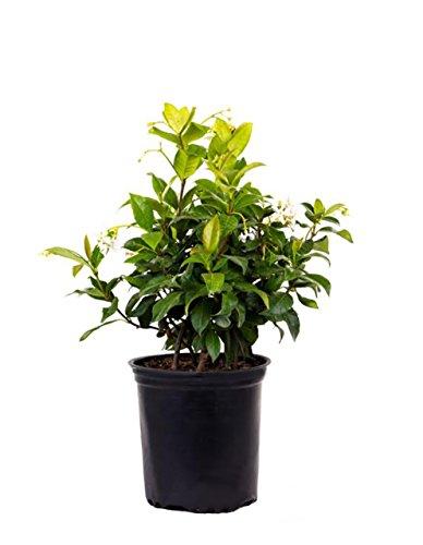 AMERICAN PLANT EXCHANGE Confederate Jasmine Live Plant 1 Gallon -