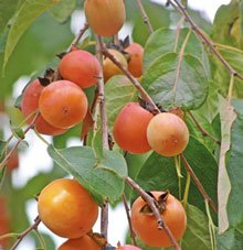 (1-2' Tall Sweet American Persimmon Tree/Plant)
