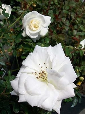 Climbing Iceberg White Rose 3 Gallon Bush Popular Plants Plant Landscaping ()