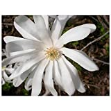 """Royal Star Magnolia Magnolia Stellata White Blooms Rooted 3.5"""" Potted 3 plants"""
