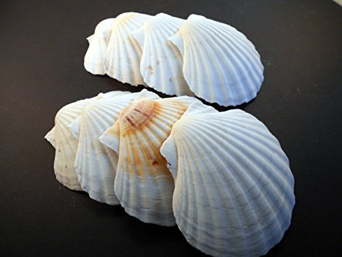 12 Large White Irish Baking Scallops (3 1/2