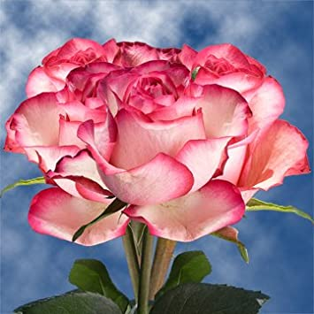 Amazon globalrose 50 fresh cut pale pink roses with dark pink globalrose 50 fresh cut pale pink roses with dark pink tips carrousel roses fresh mightylinksfo