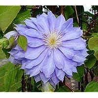 Potseed . 100 PCS Clematis Multicolores Real RARA Clematis de la Planta al Aire Libre Planta de Crecimiento Natural del…