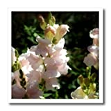 WhiteOaks Photography and Artwork - Snapdragons - Lightest Pink Snapdragons is a photo of very light pink flowers - 8x8 Iron on Heat Transfer for White Material (ht_232031_1)