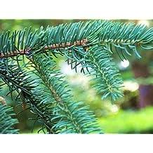 High Quality 100 Pcs Colorado Blue Spruce Tree Seeds Picea Tree Potted Bonsai Courtyard Garden Bonsai Plant Pine Tree Rare Seeds