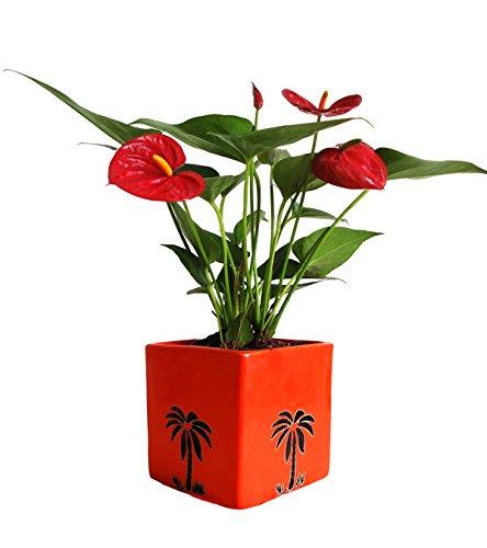 Rolling Nature Exotic Anthurium Red Plant In Orange Cube Aroez...