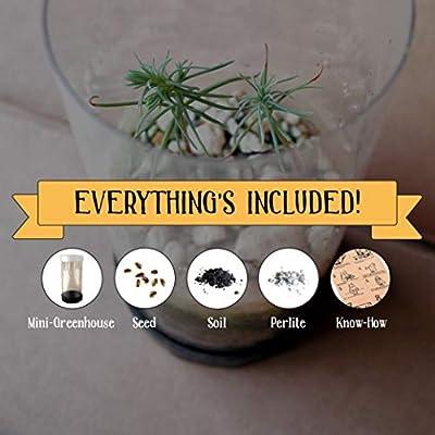 Piñon Pine   Tree Seed Grow Kit   The Jonsteen Company : Garden & Outdoor