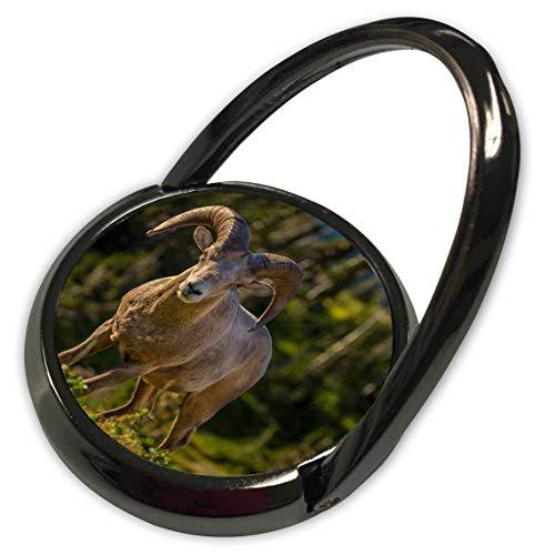 3dRose Danita Delimont - Sheep - Bighorn Sheep ram in Glacier National Park, Montana, USA - Phone Ring (phr_314920_1) ()