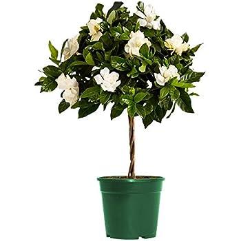 Amazon.com  AMERICAN PLANT EXCHANGE Gardenia Bush Veitchii