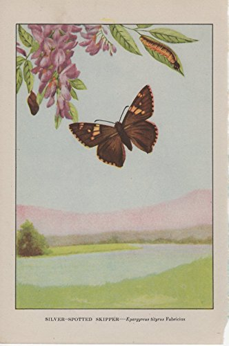 1917 Vintage BUTTERFLIES SILVER SPOTTED SKIPPER BUTTERFLY COLOR Art Lithograph ()