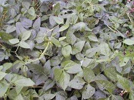 Dry 10 Lb Bag - Iron Clay Pea Seed 10lb Bag