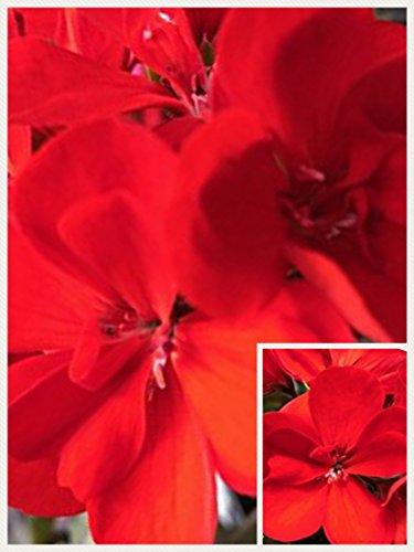 Homegrown Packet Geranium Seeds, 20 Seeds, Vibrant Red Geranium