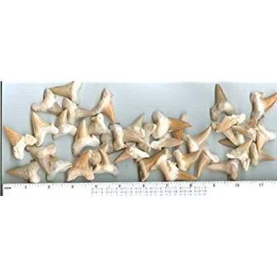 Shark Teeth - Genuine Fossil - Lamna Oblique - Set of 6 - from Morocco: Industrial & Scientific