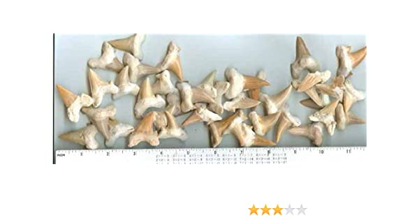 from Morocco Lamna Oblique Set of 6 Shark Teeth Genuine Fossil