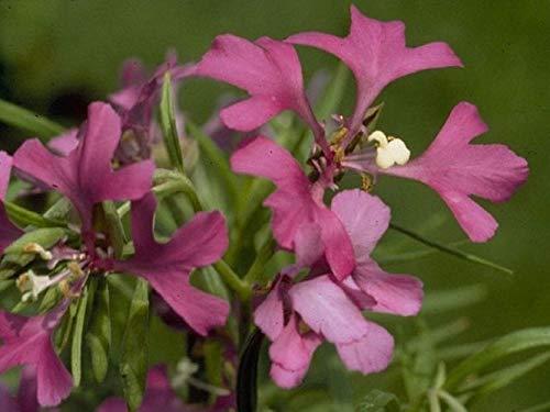 Portal Cool Paquete de semillas: A 0,5 g (Aprox. 1500) Semillas Deerhorn Clarkia Arianne Pinkfairies, fácil de cultivar