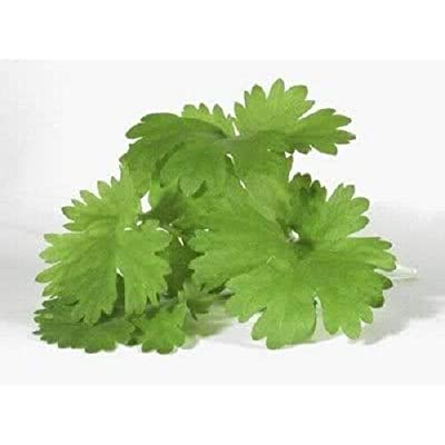 1000 Cilantro Corriander Coriandrum Sativum Herb Seeds LUC-RR : Garden & Outdoor