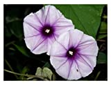 Lavender Moonvine, Moonflower Vine