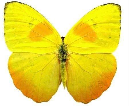 Framed Orange-Barred Sulphur Butterfly Riker Mount (6
