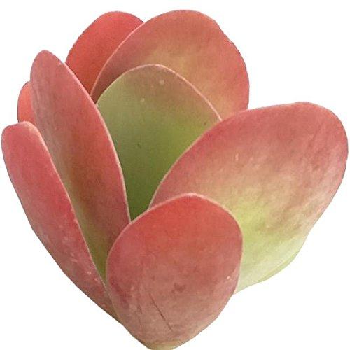 Kalanchoe Flapjacks Paddle Plant Hearts Valentine Plant Succulent (4 inch) by DH7 Enterprise