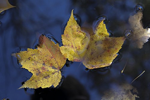 Maple leaf on pond. Printed on metal. Home or office wall decor. Nature fine art featuring fall colored maple leaves floating on bright blue water. Ready to hang, no framing necessary