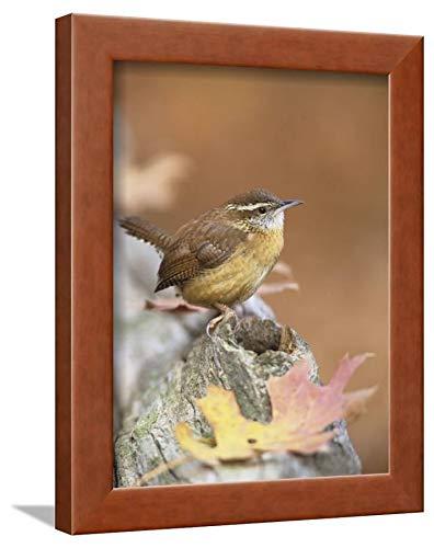 ArtEdge Wren (Thryothorus Ludovicianus), South Carolina State Bird. USA Steve Maslowski, Brown Framed Wall Art Print, 12x9 (South Carolina State Bird)