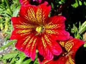 RED STAINED-GLASS FLOWER SEEDS/ ANNUAL / SALPIGLOSSIS