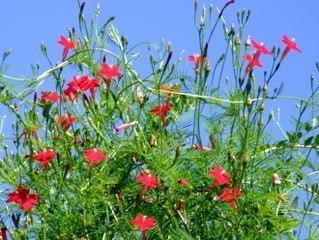 (35 RED CYPRESS VINE (Star Glory / Hummingbird Vine) Ipomoea Quamoclit Flower Seeds by Seedville)