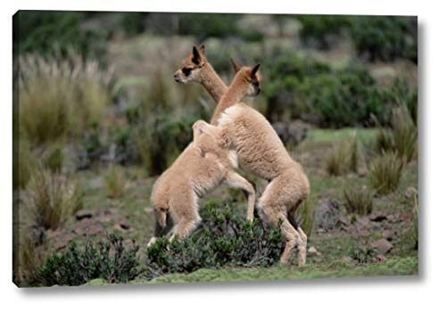Vicuna Young Play-Fighting Like Adult Males, Peruvian Andes, Peru by Tui De Roy - 11