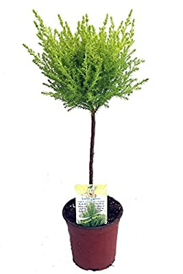 "Lemon Scented Goldcrest Mini Poodle Cypress Tree - 4.5"" Pot"