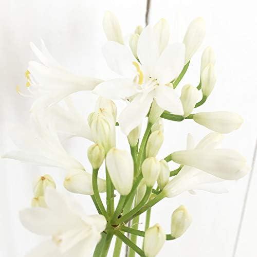 ゆり 苗木 アガパンサス・ホワイト・ナナ 12cmポット苗 ユリ 苗 百合