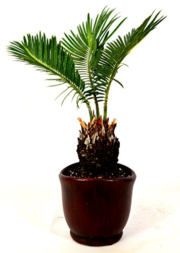 9GreenBox - Sago Palm - 4.5