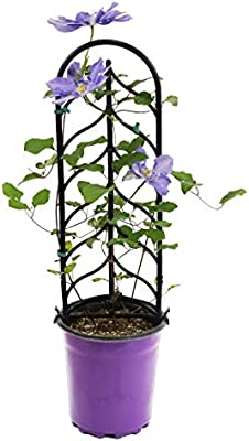 Amazon Com Burpee Perennial Clematis H F Young Live Plant In