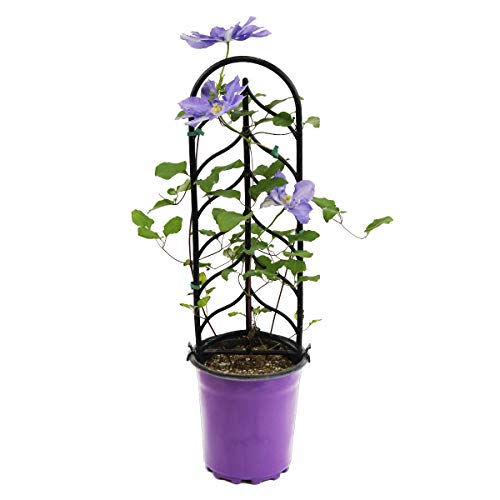 Burpee Perennial Clematis 'H. F. Young' Live Plant in a 6'' pot, True Blue Flowers, One Plant by Burpee (Image #4)