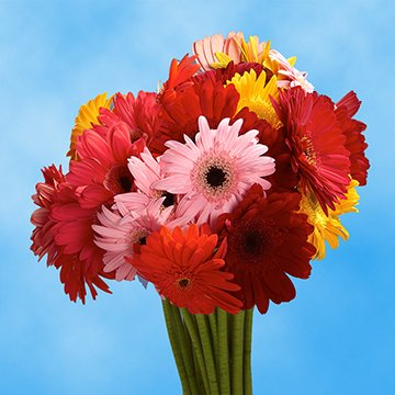 GlobalRose Gerbera Daisies 20 Stems of Assorted Color- Fresh Flowers for Delivery by GlobalRose