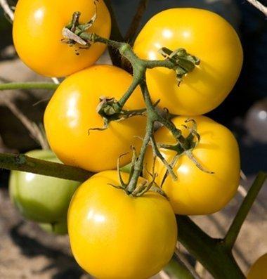 David's Garden Seeds Tomato Slicing Taxi D739A (Yellow) 25 Organic Seeds