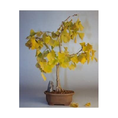 Bonsai Boy's Ginkgo Bonsai Tree ginkgo Biloba: Garden & Outdoor