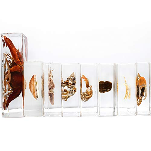 Cherish XT 8 PCS Marine Animals Specimens Set Paperweights Taxidermy for Science Education Include Pagurid,Spiral Shell,Lobster,Sea Anemone,Cuttlefish,Fiddler Crab,Clams,Starfiash Specimen